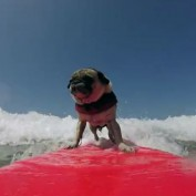 A day in the life of a surfing pug!