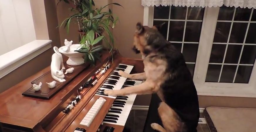 Rescue dog turns on piano and plays it