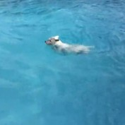 Eager dog desperately wants to jump in pool