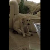 Golden Labrador puppy struggles to stay awake