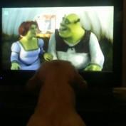 Golden Retriever puppy obsessed with 'Shrek' film