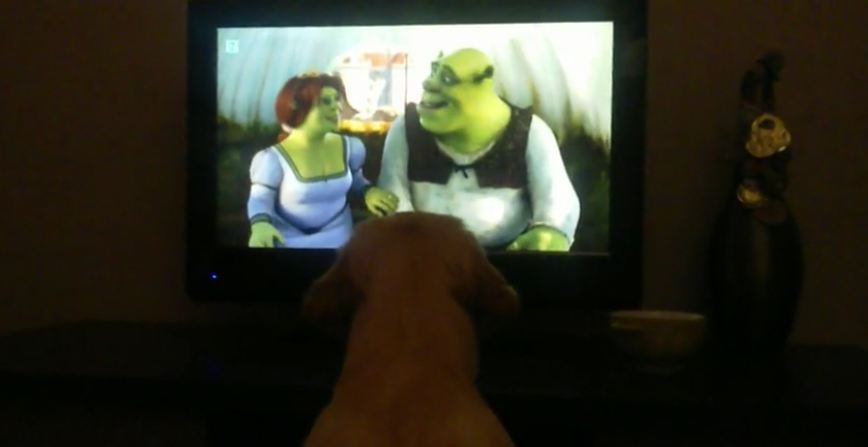 Golden Retriever puppy obsessed with 'Shrek' film