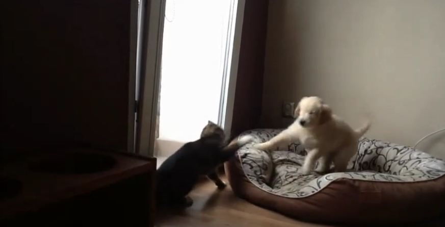 Golden Retriever puppy desperate to play with cat