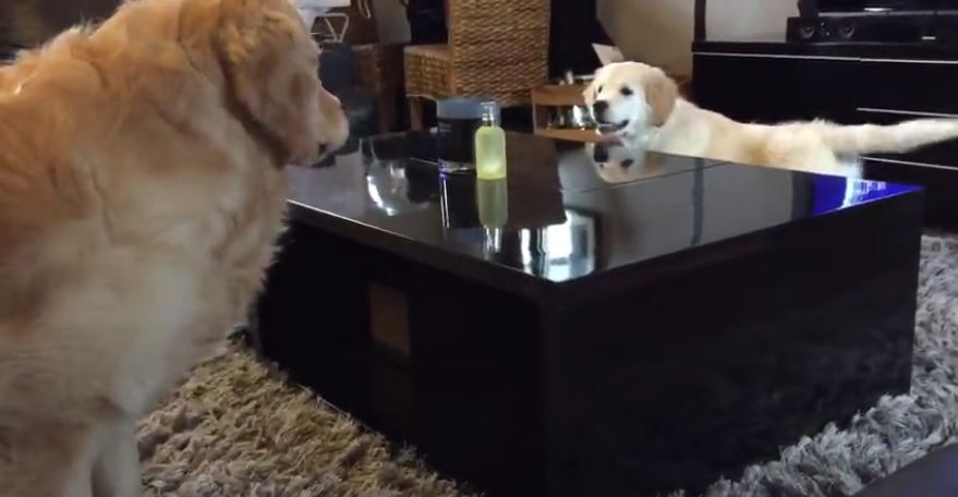 Golden retriever puppy outsmarts his older brother!