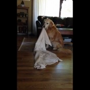 Golden Retriever takes his favorite blanket everywhere