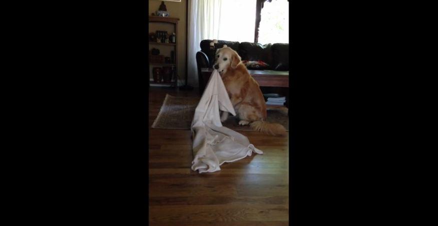 Golden Retriever takes his favorite blanket everywhere