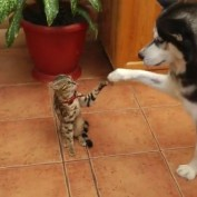 Husky Encourages Uninterested Cat to Play