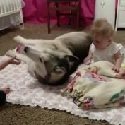 Husky adorable entertains twin babies