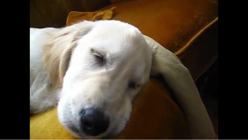 Sleeping Golden Retriever sings along to harmonica