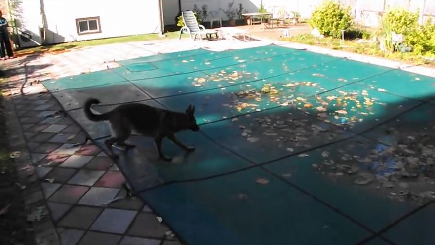 German Shepherd snatches ball from pool cover