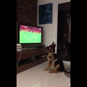 German Shepherd intensely watches soccer game