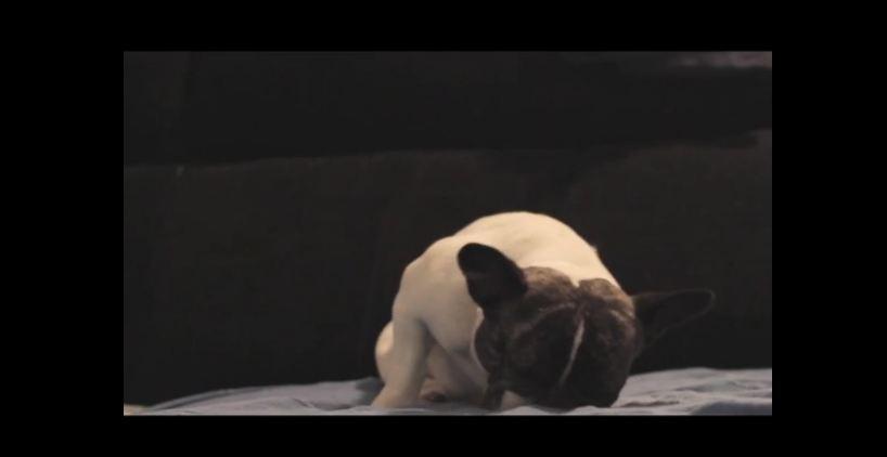 French Bulldog struggles to stay awake