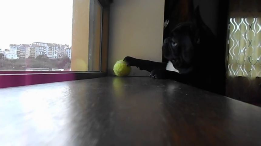 Determined French Bulldog struggles to reach ball