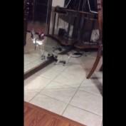 When a Pug puppy discovers a mirror