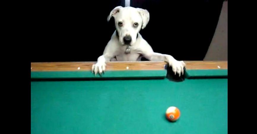 Dog reveals impressive billiards trick shots