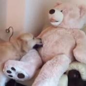 Golden Retriever befriends life size teddy bear!
