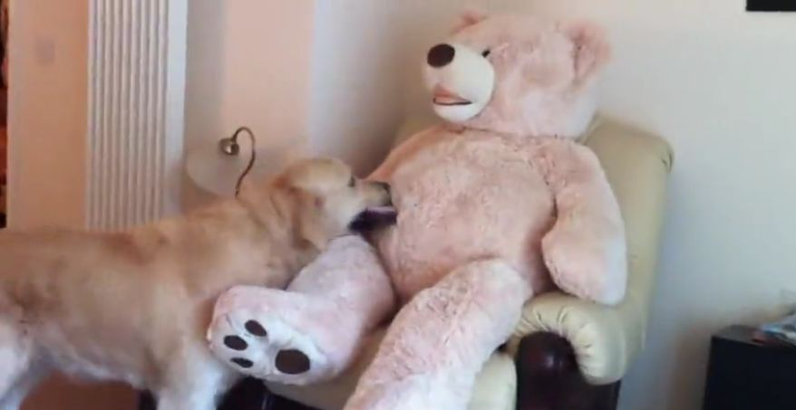 Golden Retriever befriends life size teddy bear!