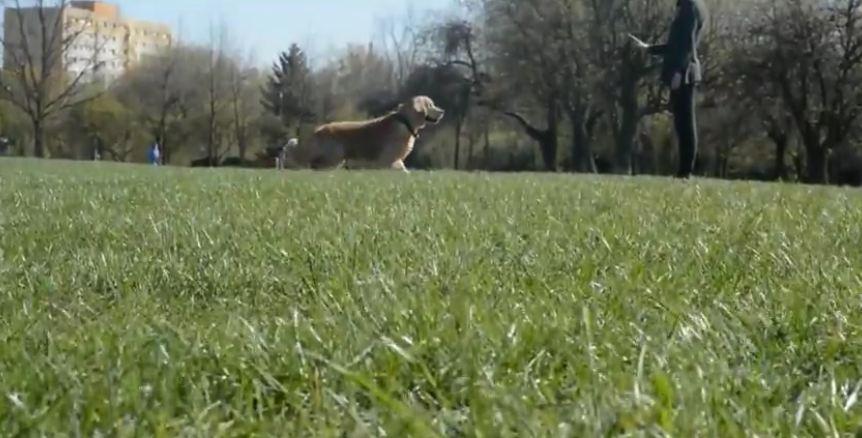 Golden Retriever shows off training skills