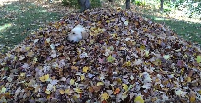 Where'd The Dog Go? Oh, She's Just Hiding In That Giant Pile Of Leaves!