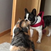 French Bulldog desperately tries to play with unamused cat