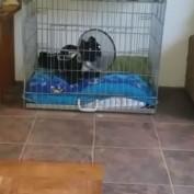 "French Bulldog puppy says ""I love you"""
