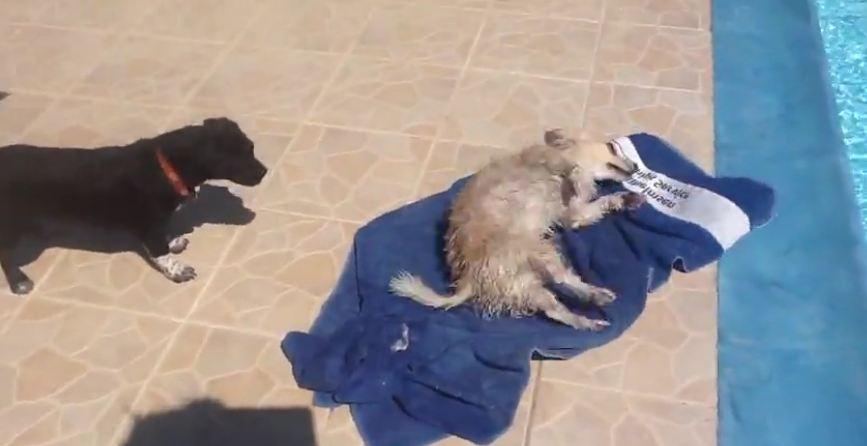 Dog uses towel to dry himself