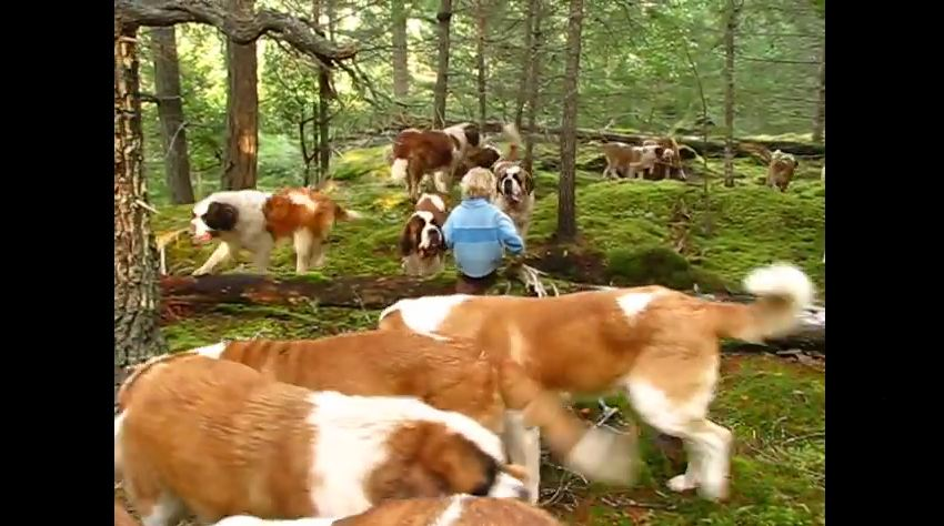 This Is What It's Like To Walk Through The Woods With 42 Hulking Saint Bernards