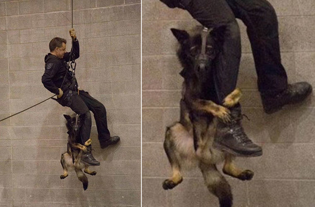 This Police Dog Is Apparently Not A Fan Of This New Kind Of Training At Work