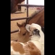 Dog and baby horse: Friends for life!