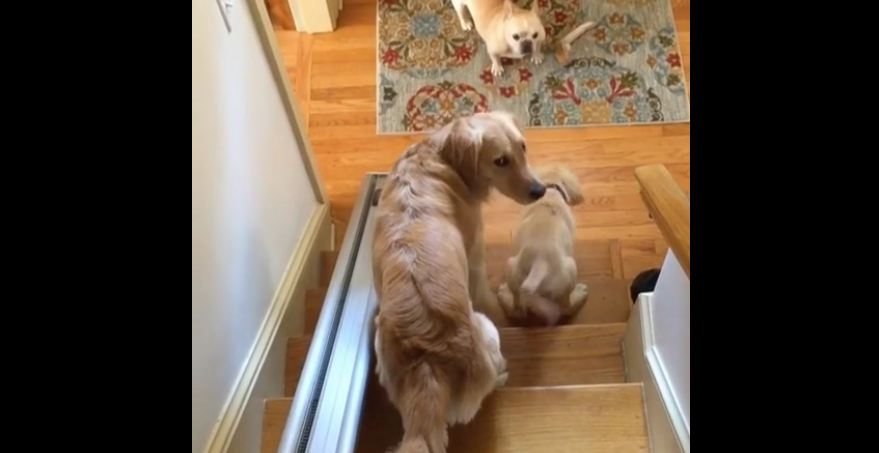 French Bulldog refuses to let Golden Retrievers pass on stairway