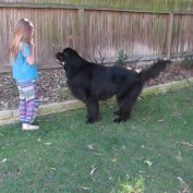Little girl trains giant dog