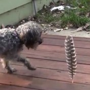 Little dog afraid of a big feather
