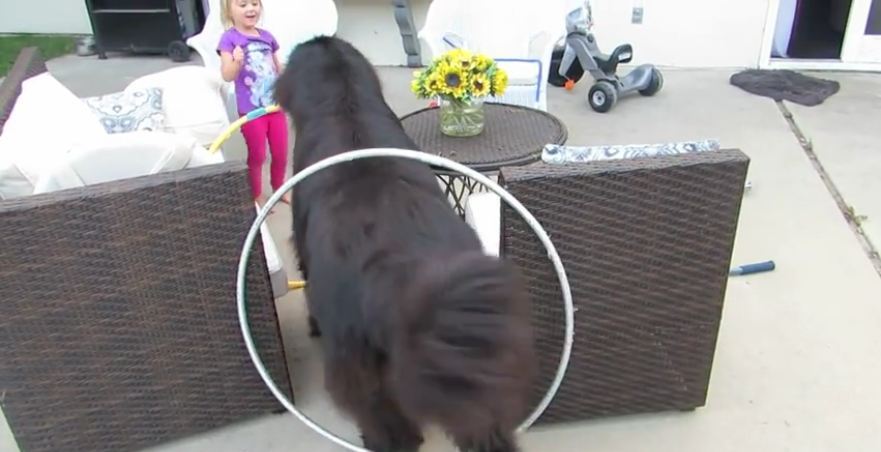Little girl trains giant dog for circus act