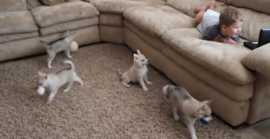 Alaskan Klee Kai puppies discover toddler