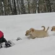 Adorable Golden Retriever Puppies In the Snow!
