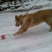 Golden Retriever adorably plays in the snow