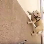 The Amazing Parkour Pup!