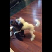 Capuchin Monkey plays with puppy friend