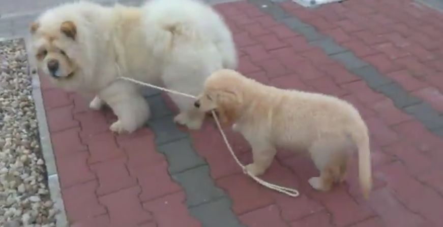 Cute Puppy Walks His Friend