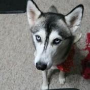 Husky not a fan of Daylight Saving Time
