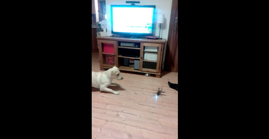 Dog vs remote controlled helicopter
