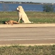 Loyal Dog Stands Next to Fallen Friend and Gets Rescued