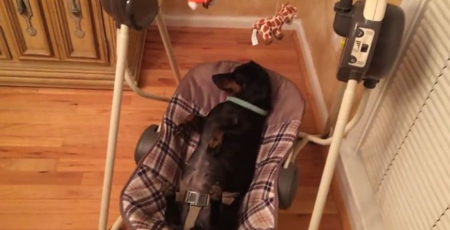Dog relaxes adorably in a baby swing