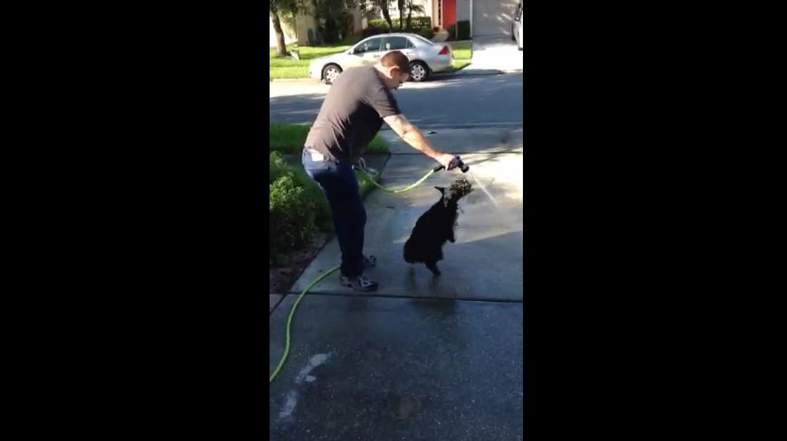 Scottish Terrier chases water hose