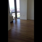 French Bulldog extremely excited about new apartment