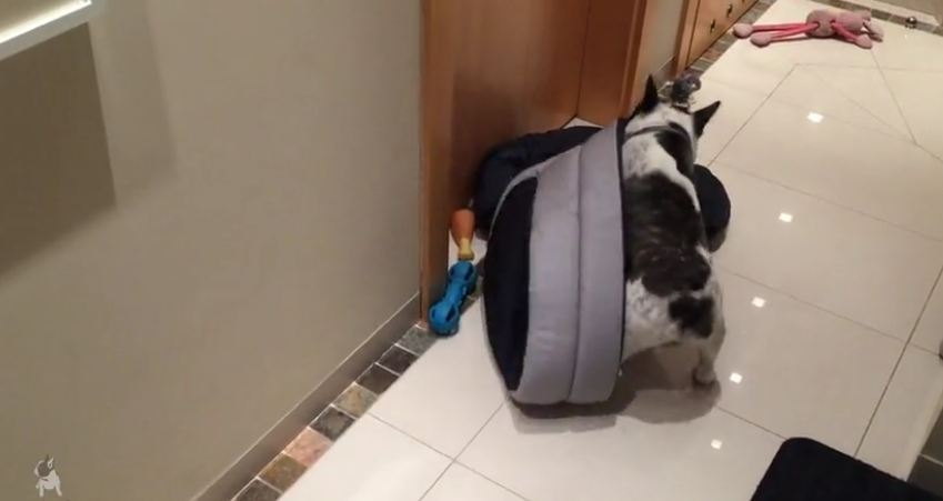 Think this French Bulldog is excited about his new bed?