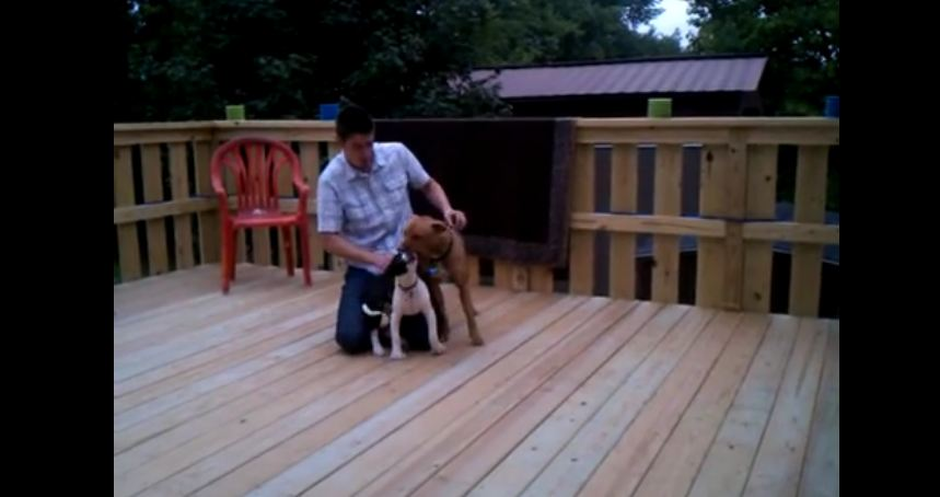 Pitbull Puppy Learning to Play With Big Dogs