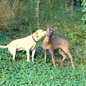 Dog & Orphaned Fawn Form Lifelong Friendship at German Christmas Tree Farm