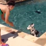 Husky, puppy's, first ,time ,swimming