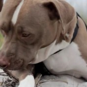 Watch a rescued pit bull experience the beach for the first time